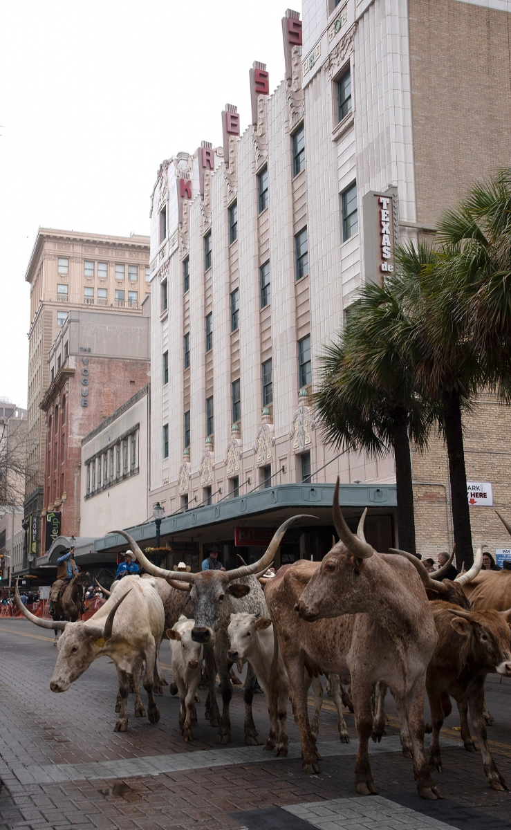 Sixty head of cattle walk down Houston St. during the Western Heritage Parade and Cattle Drive Feb. 2. <em><b>Photo by V. Finster | Heron</b></em>