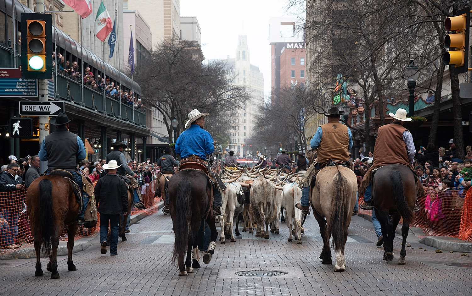 Sixty head of cattle walk in down Houston St. during the Western Heritage Parade and Cattle Drive Feb. 2. <em><b>Photo by V. Finster | Heron</b></em>
