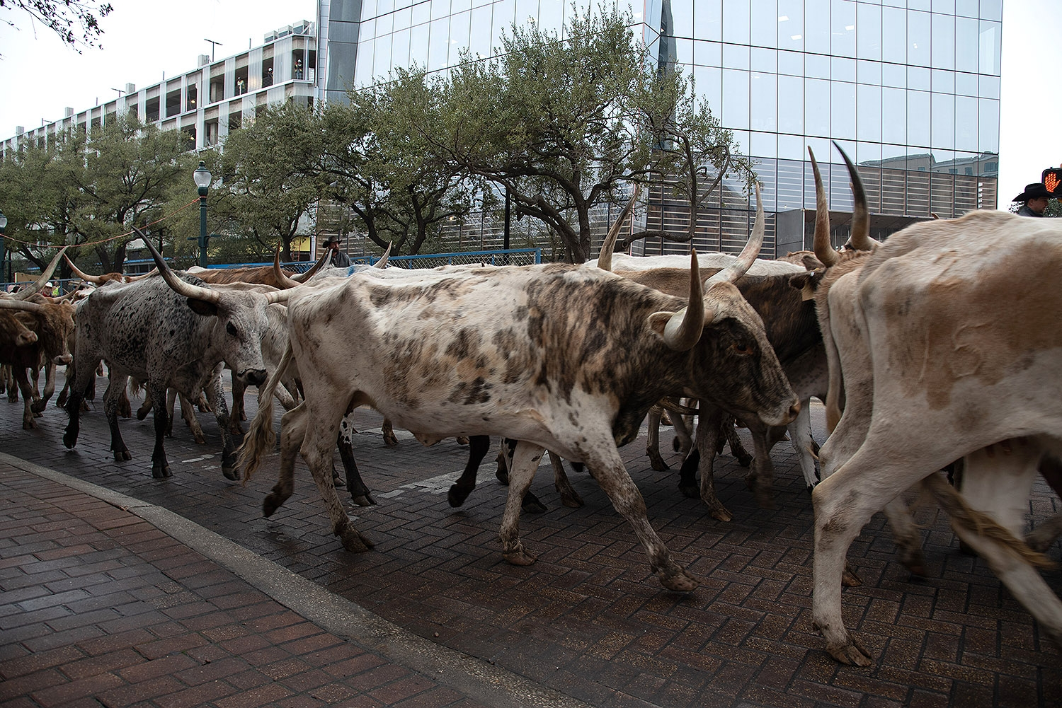 Sixty head of cattle walk in front of Frost tower on Houston St. during the Western Heritage Parade and Cattle Drive Feb. 2. <em><b>Photo by V. Finster | Heron</b></em>
