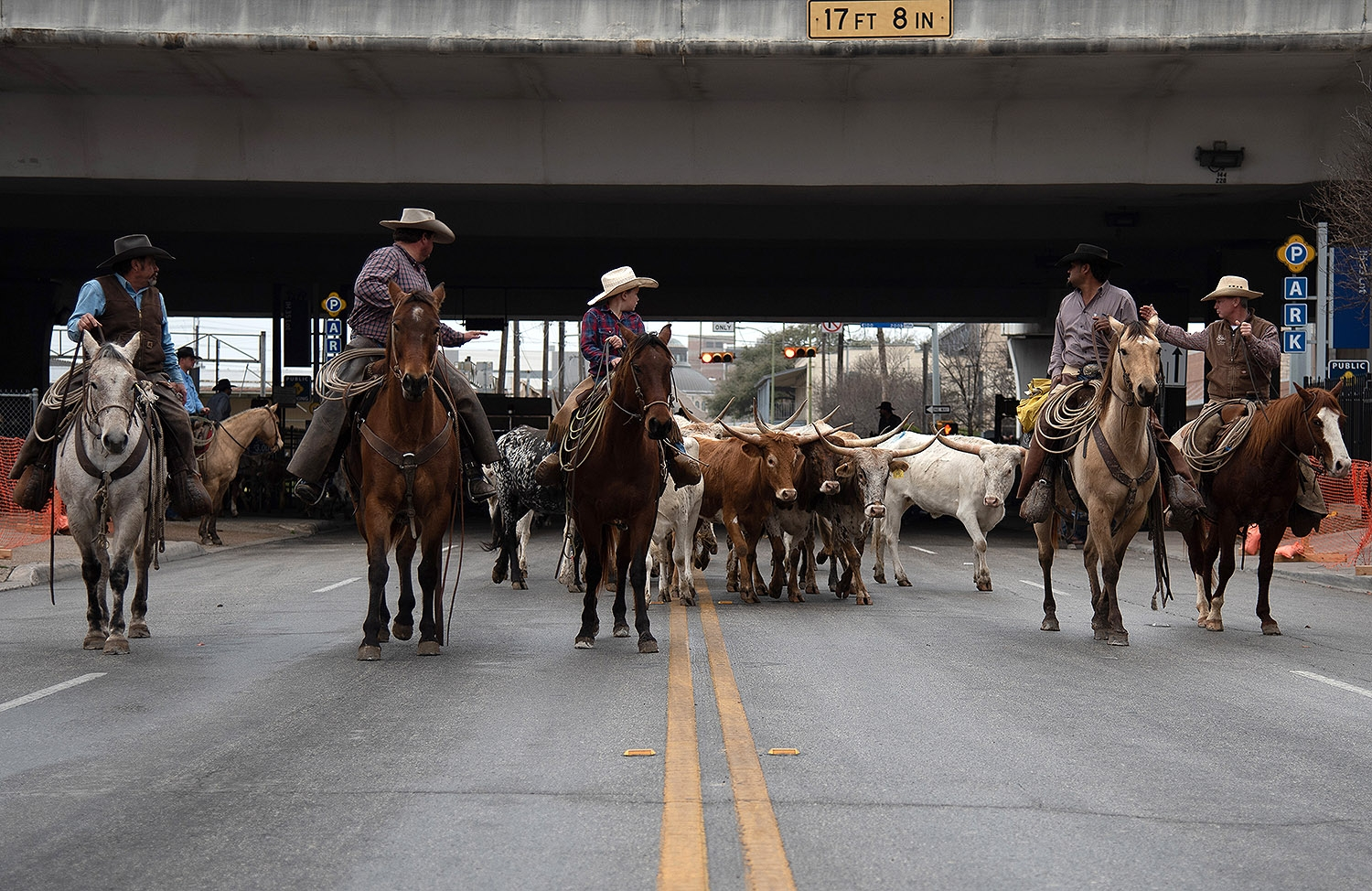 Sixty head of cattle start their trek down Houston Street at the beginning of the Western Heritage Parade and Cattle Drive Feb. 2. <em><b>Photo by V. Finster | Heron</b></em>