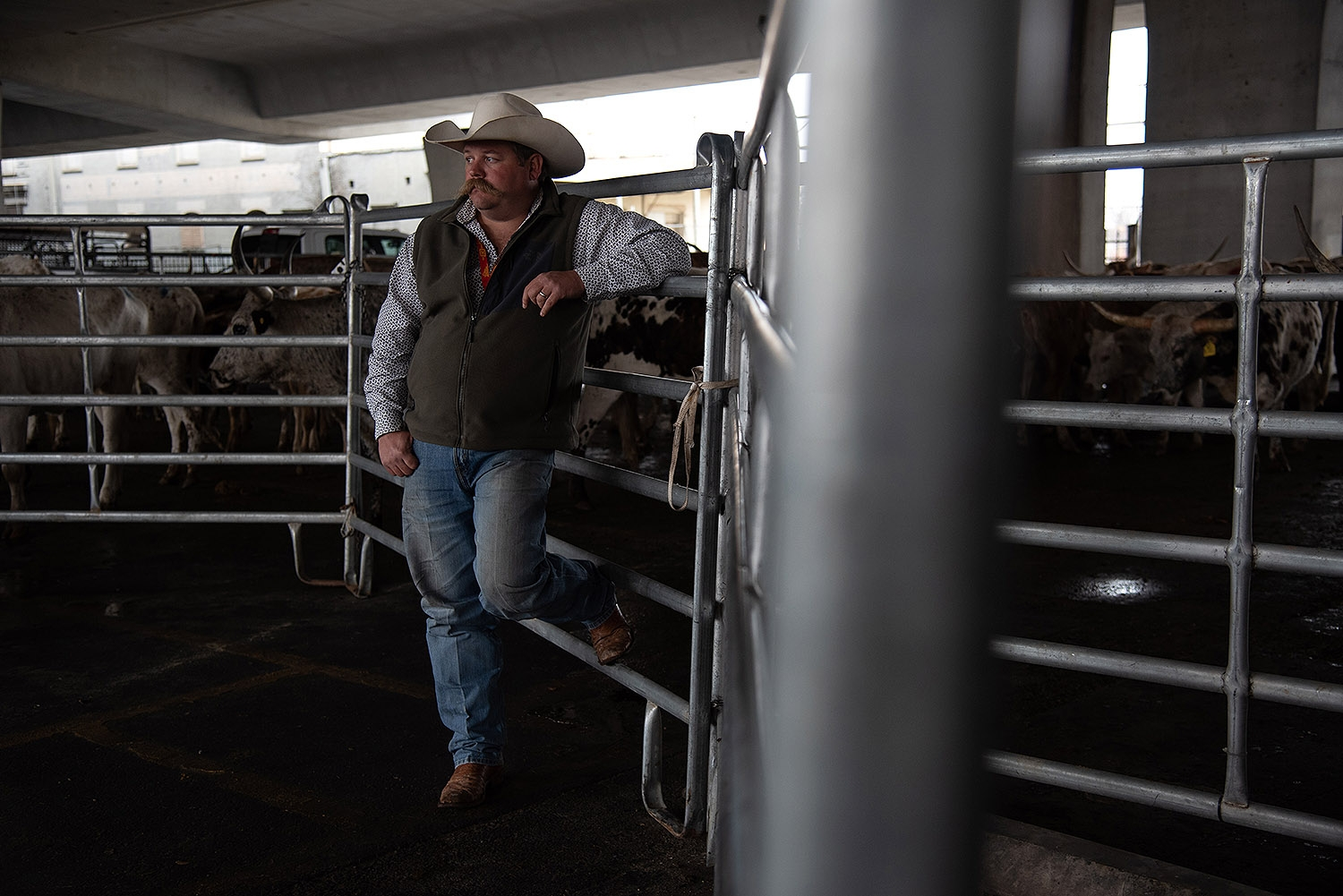 Bryant Harris stands alongside cattle before the Western Heritage Parade and Cattle Drive Feb. 2 under I-35 at Houston St. <em><b>Photo by V. Finster | Heron</b></em>